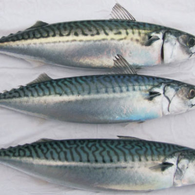 North Atlantic Mackerel