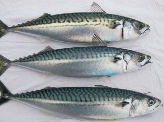 Image result for atlantic mackerel